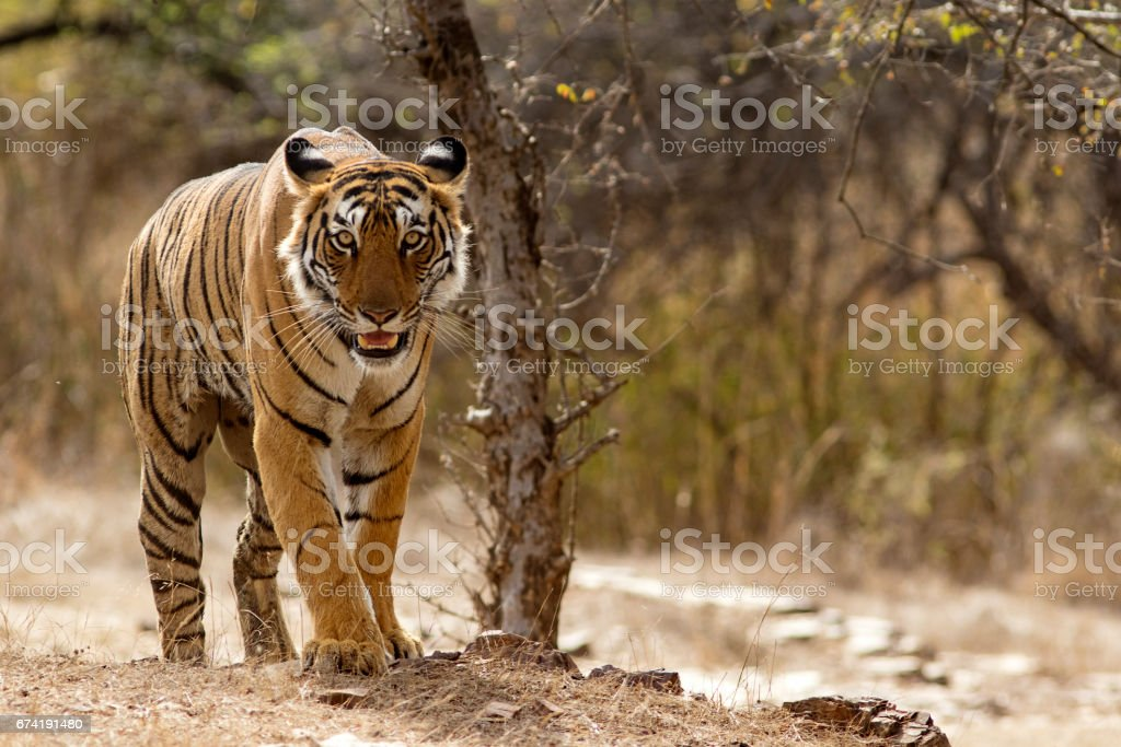 Bengal Tiger at Ranthambhore National Park in Rajasthan, India stock photo