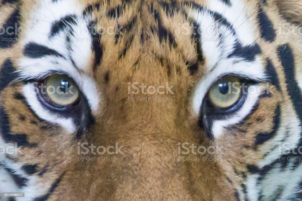Bengal tiger Eyes stock photo