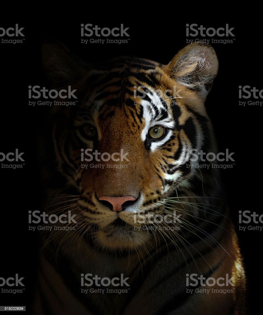 bengal tiger head stock photo