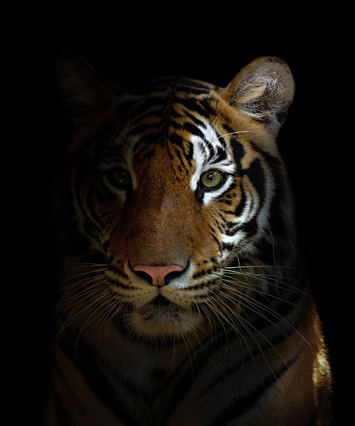bengal tiger head - tiger stock photos and pictures