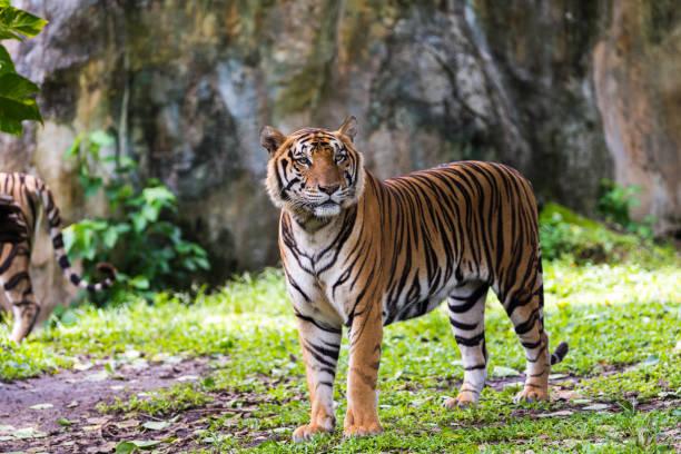 Bengal tiger in forest picture id1062140838?b=1&k=6&m=1062140838&s=612x612&w=0&h=d nptw5wau9mmrbrj4jc10luowpbpik1l4zuatwd2hs=