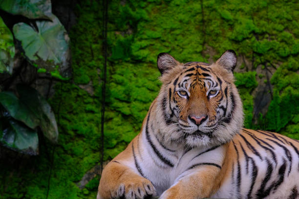 bengal tiger in forest show head and leg - tiger fur stock photos and pictures