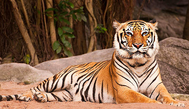 bengal tiger in forest show head and leg - bengal tiger stock pictures, royalty-free photos & images