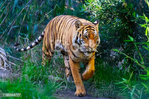 Bengal Tiger in forest, walking towards camera