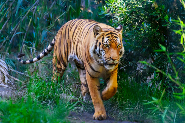bengal tiger in forest, walking towards camera - bengal tiger stock pictures, royalty-free photos & images