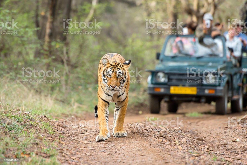 Bengal tiger (Panthera tigris tigris) in front of tourist car stock photo