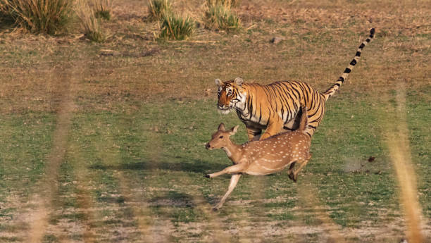 Bengal Tiger in Rajasthan, India, chasing a Chital Deer. A female Bengal Tiger at the Ranthambhore National Park in Rajasthan, India, trying to run down a Chital Deer.  Didn't quite make it! axis deer stock pictures, royalty-free photos & images