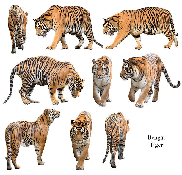 Bengal tiger isolated on white background picture id470501270?b=1&k=6&m=470501270&s=612x612&w=0&h=44rnd1 ww0ydhdqenujw2rhvah6fznbtqexboxtiafq=