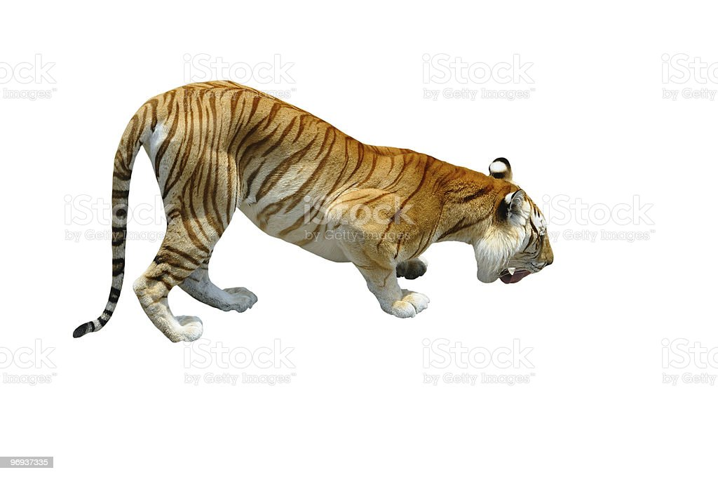 Bengal Tiger Isolated on White Background royalty-free stock photo