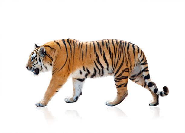 bengal tiger isolated - tiger stock photos and pictures