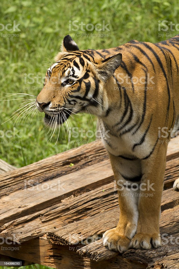 Bengal tiger looking to something stock photo