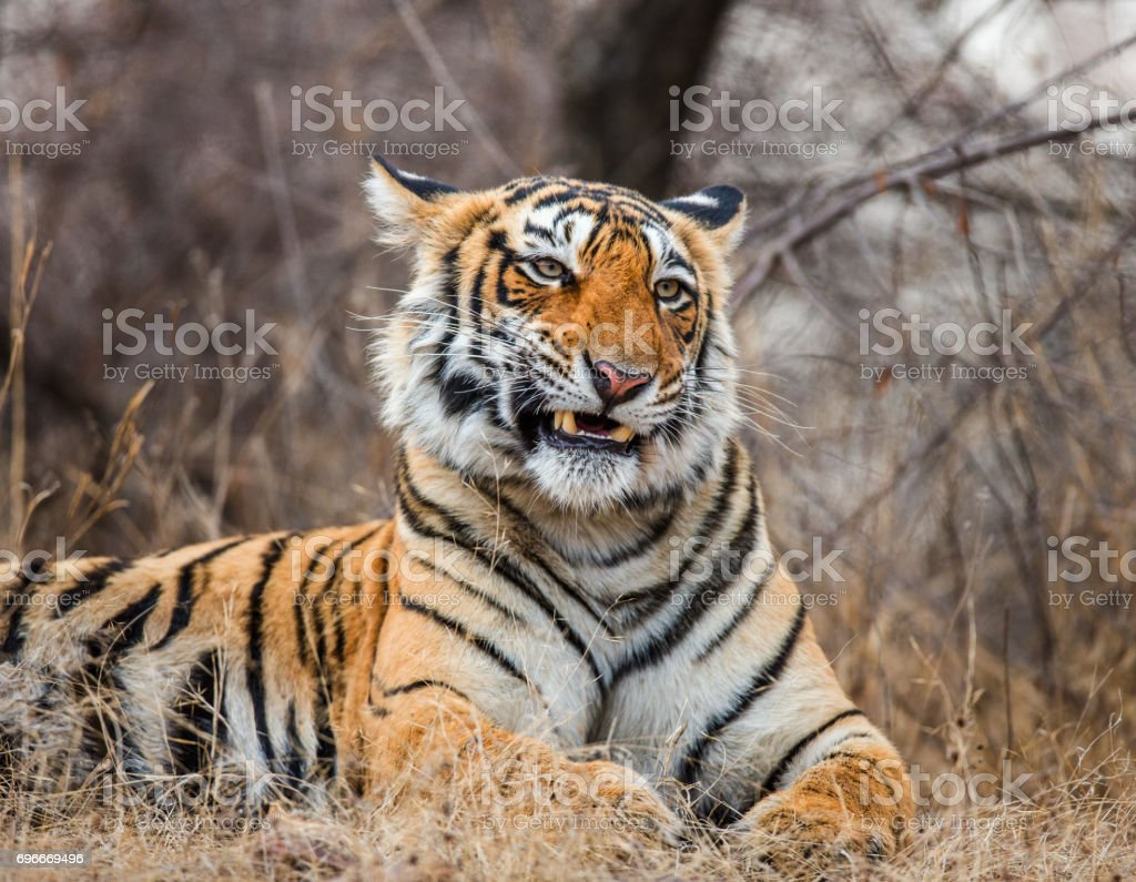 Bengal tiger lying on the road. Ranthambore National Park. India. stock photo