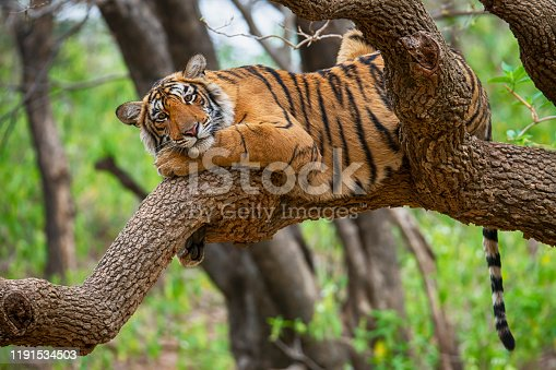 A juvenile Bengal tiger (also called