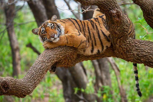 bengal tiger (panthera tigris tigris) on a tree, wildlife shot - big cat stock pictures, royalty-free photos & images