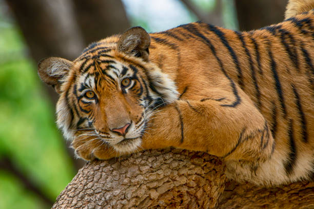 Bengal tiger (Panthera tigris tigris) on a tree, wildlife shot stock photo