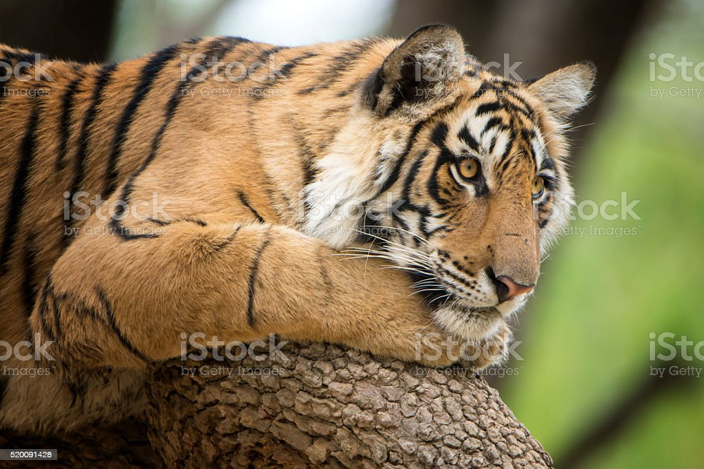 Bengal tiger (Panthera tigris tigris) on a tree, wildlife shot stock photo