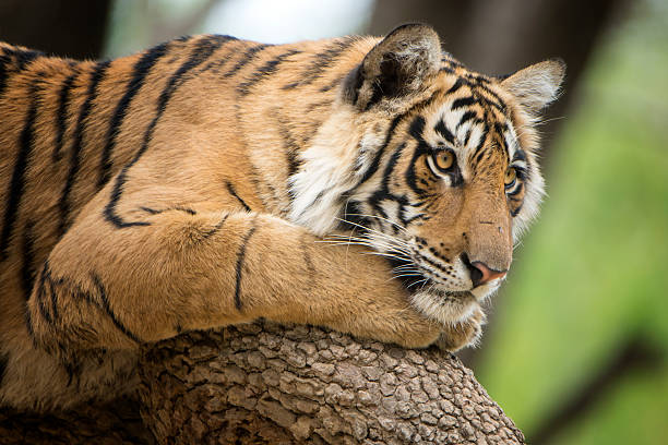 bengal tiger (panthera tigris tigris) on a tree, wildlife shot - bengal tiger stock pictures, royalty-free photos & images