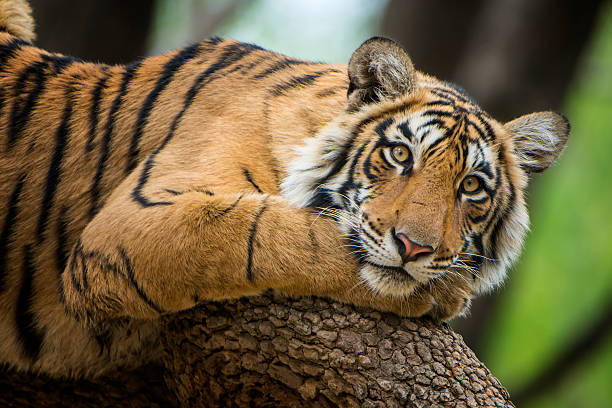 bengal tiger (panthera tigris tigris) on a tree, wildlife shot - tiger stock photos and pictures