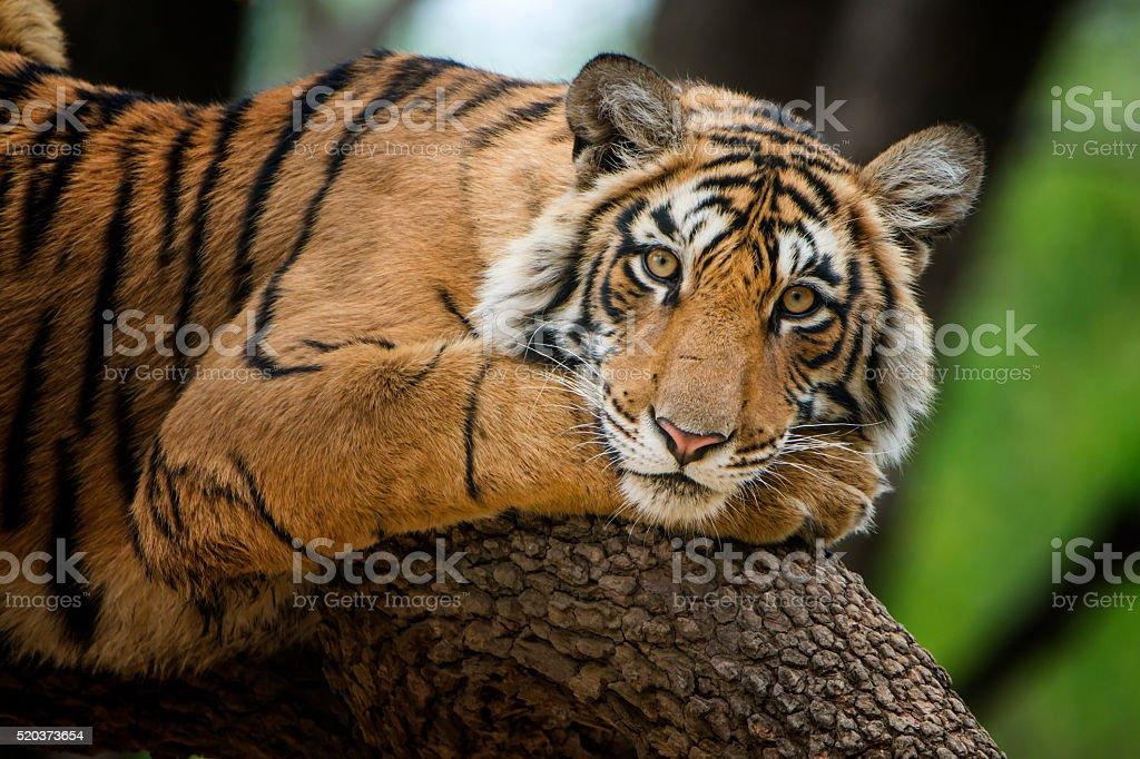 Bengal tiger (Panthera tigris tigris) auf einem Baum-Aufnahme – Foto