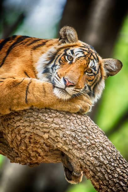 bengal tiger (panthera tigris tigris) auf einem baum-aufnahme  - seltene pflanzen stock-fotos und bilder