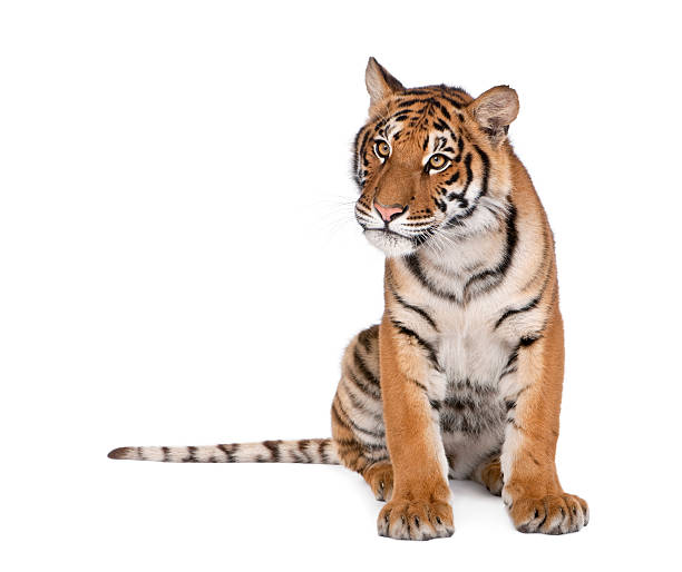 bengal tiger, panthera tigris, 1 year old, sitting - bengal tiger stock pictures, royalty-free photos & images