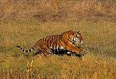Bengal Tiger, panthera tigris tigris, Adult running