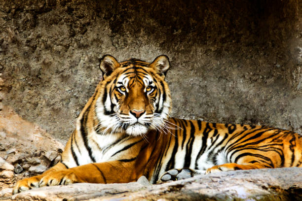 bengal tiger - bengal tiger stock pictures, royalty-free photos & images