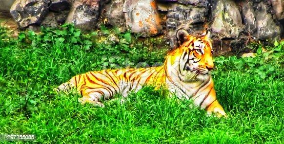 istock Bengal tiger.. 1297255085