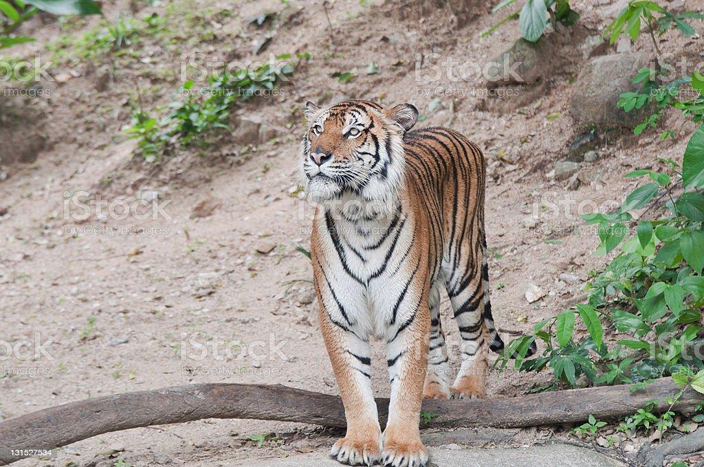 Bengal Tiger. royalty-free stock photo