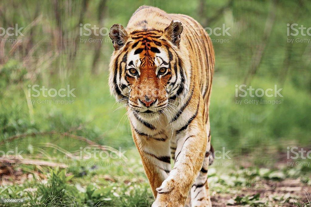 Bengal Tiger Up close with a Bengal Tiger. Animal Stock Photo