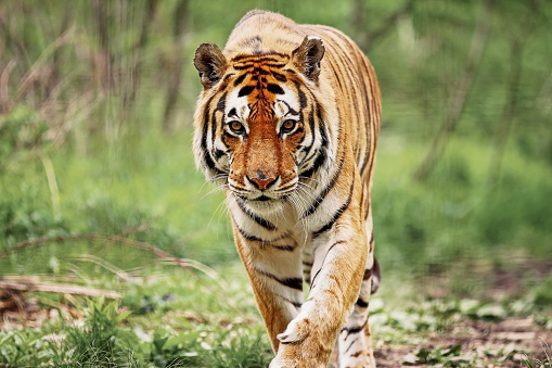 Bengal Tiger Stock Photo - Download Image Now