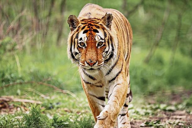 인도호랑이 스톡 사진