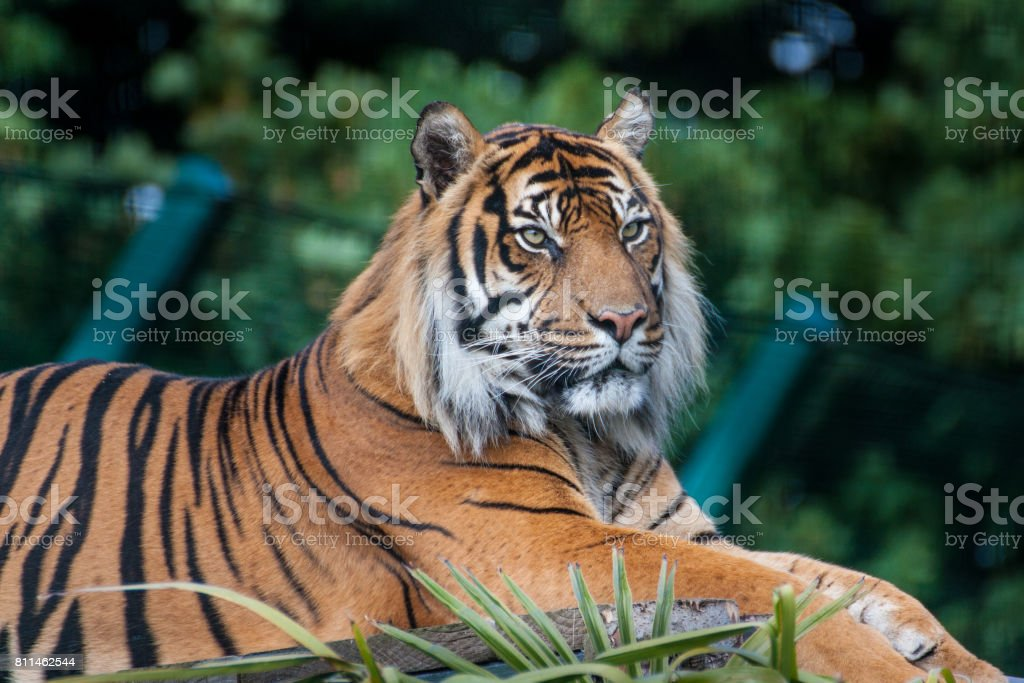 Bengal tiger (Panthera tigris) stock photo