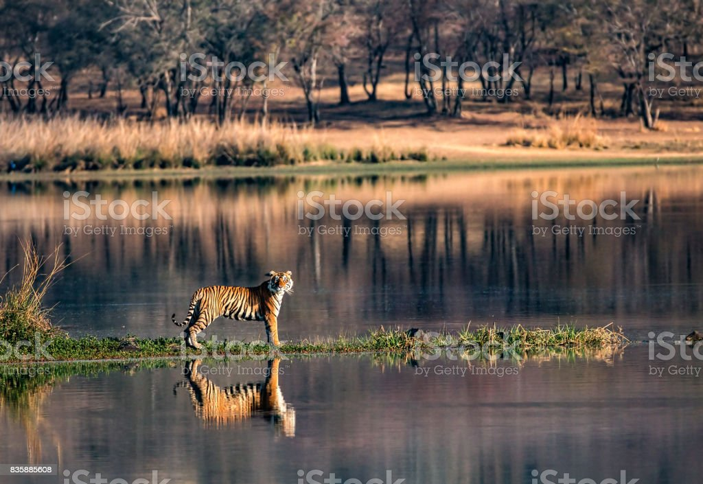 Bengal Tiger reflections in wide-angles	from Ranthambhore National Park stock photo