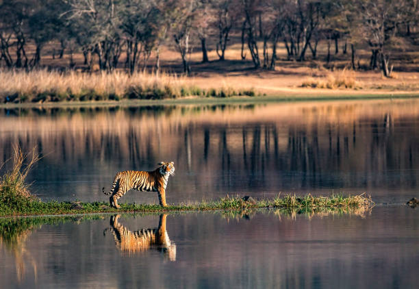 bengal tiger reflections in wide-anglesfrom ranthambhore national park - wildlife reserve stock pictures, royalty-free photos & images