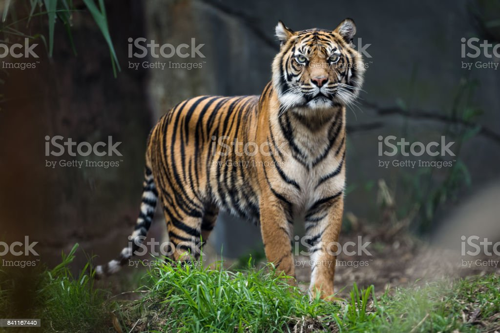 Bengal tiger standing in grass stock photo