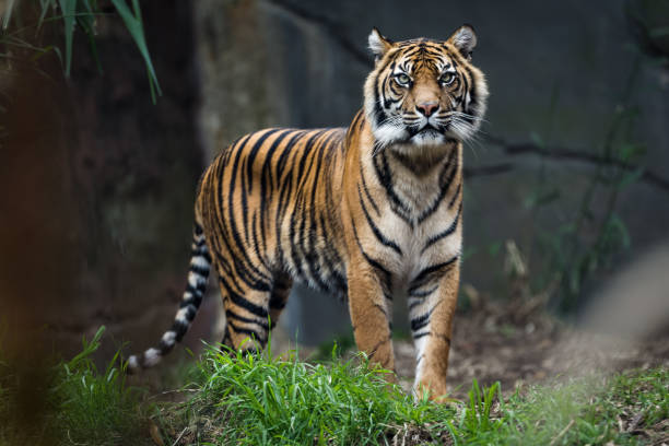 bengal tiger standing in grass - bengal tiger stock pictures, royalty-free photos & images