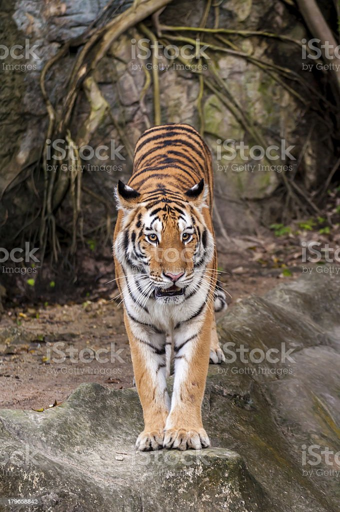 Bengal tiger standing on the rock royalty-free stock photo