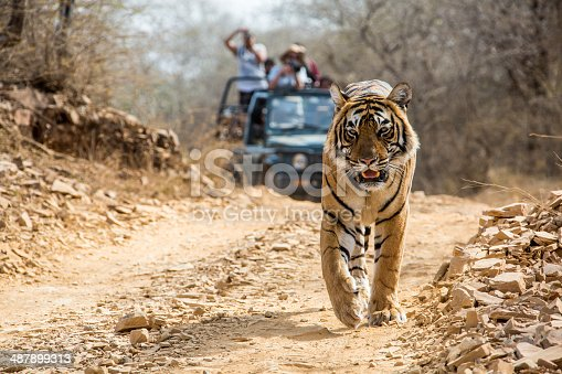 Bengal Tiger is walking on the road in front of a safari jeep, wildlife shot in Ranthambhore National Park Rajasthan India