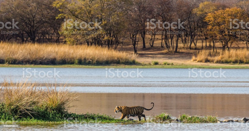 Bengal tiger walks along the lake on the background of beautiful scenery. Ranthambore National Park. India. stock photo
