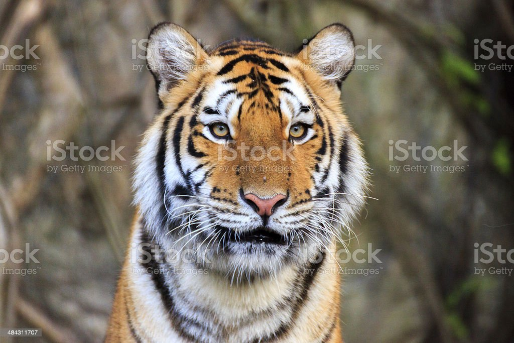 Bengal tiger's face royalty-free stock photo