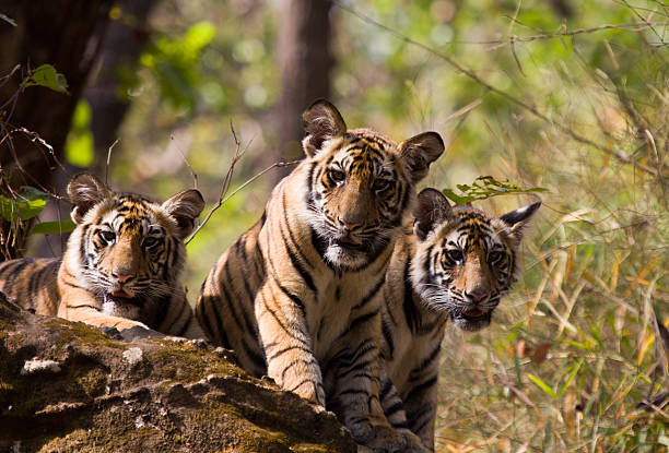 bengal tigers in bandhavgarh np, india - bengal tiger stock pictures, royalty-free photos & images