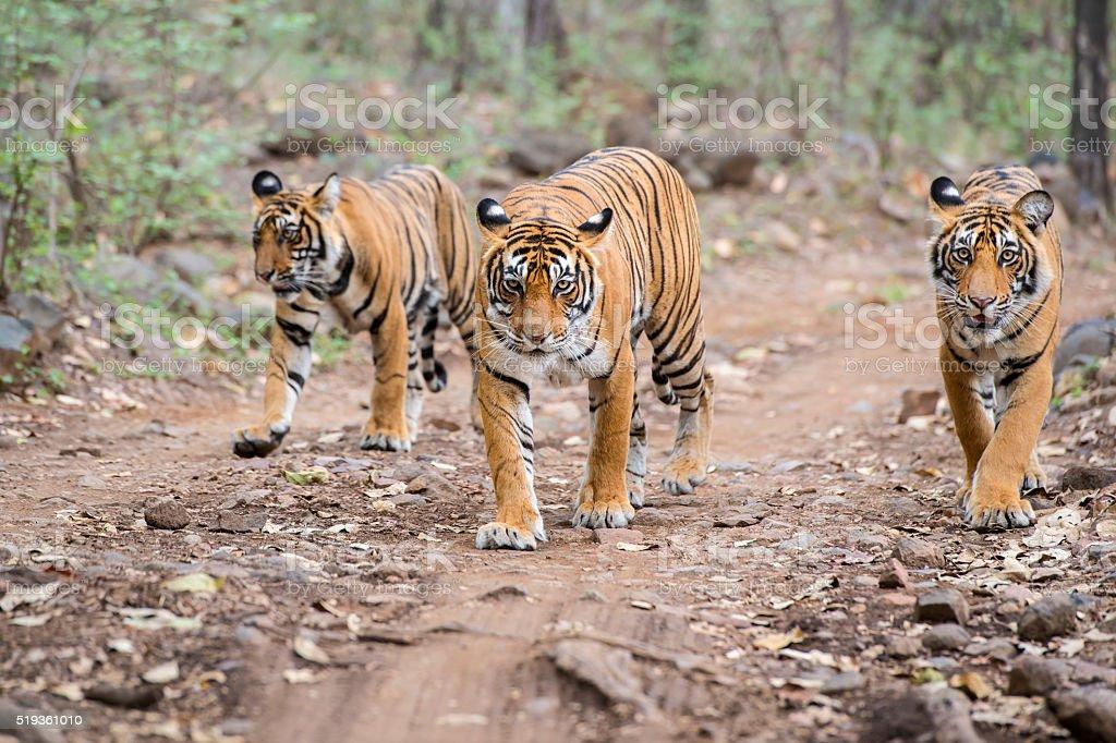 Bengal tigers (Panthera tigris tigris) in Ranthambhore National Park royalty-free stock photo