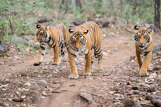 bengal tigers (panthera tigris tigris) in ranthambhore national park - tiger stock photos and pictures