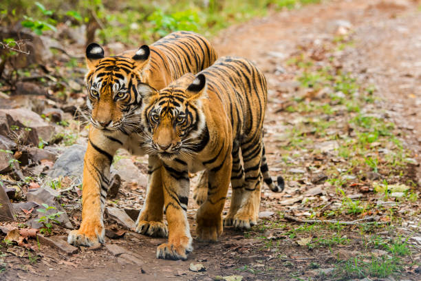 bengal tigers (panthera tigris tigris) in ranthambhore national park - bengal tiger stock pictures, royalty-free photos & images