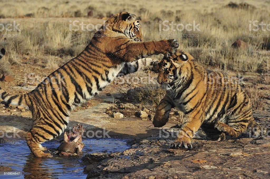Bengal Tigers playing stock photo