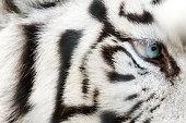 Bengal White Tiger Close Up (Panthera tigris tigris)