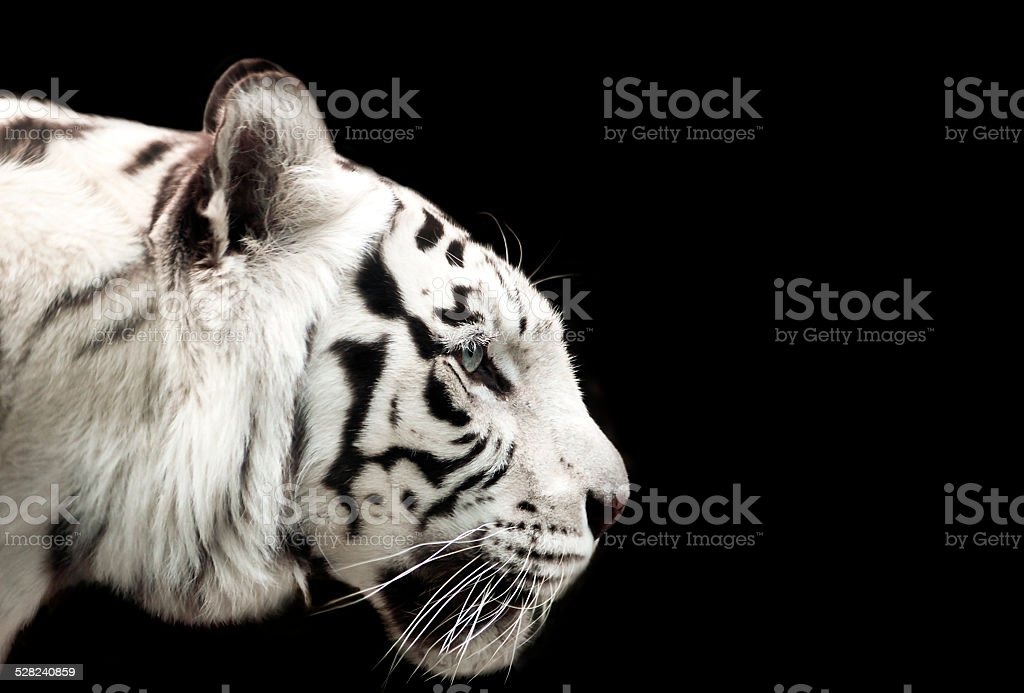 Bengal white tiger. stock photo