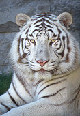 White tiger (Panthera tigris) looking straight into the camera, rare endangered species