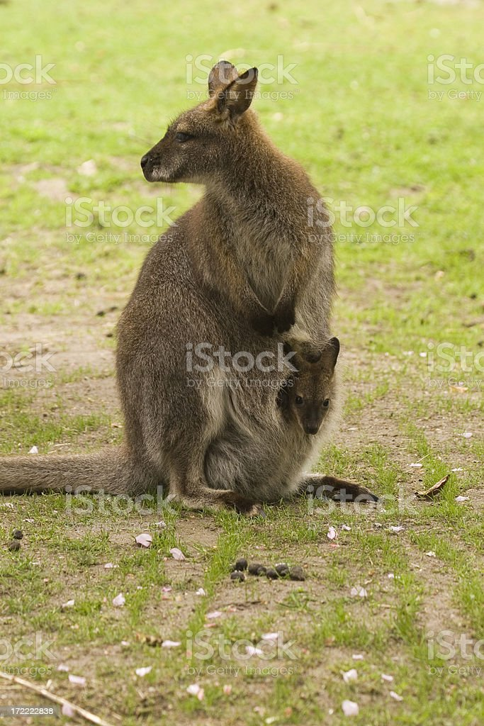 Bennett's or Red-necked Wallaby royalty-free stock photo